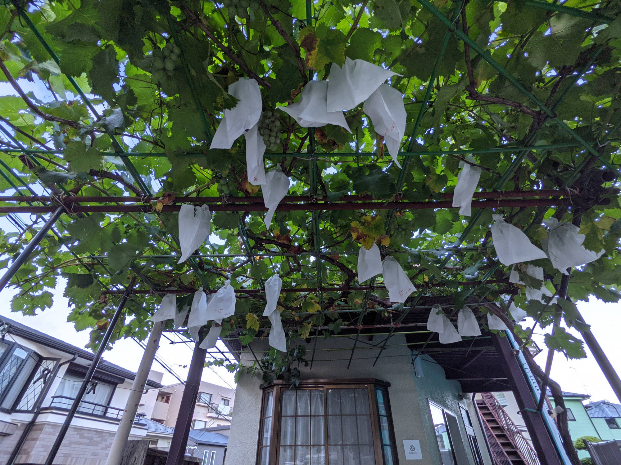 鶴巻温泉A邸のブドウの木